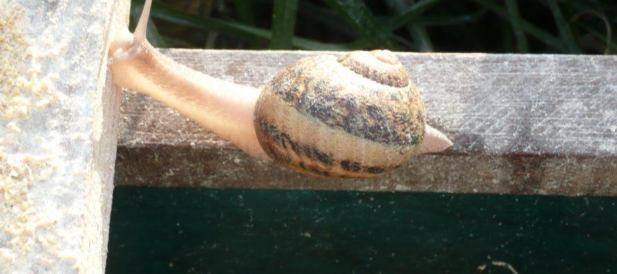 L'escargot baldo