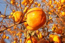 Des Kakis, des pommes et des prunes qui poussent à Sainté