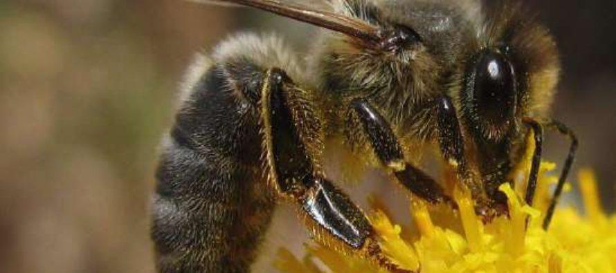 Sauvez l'abeille noire !