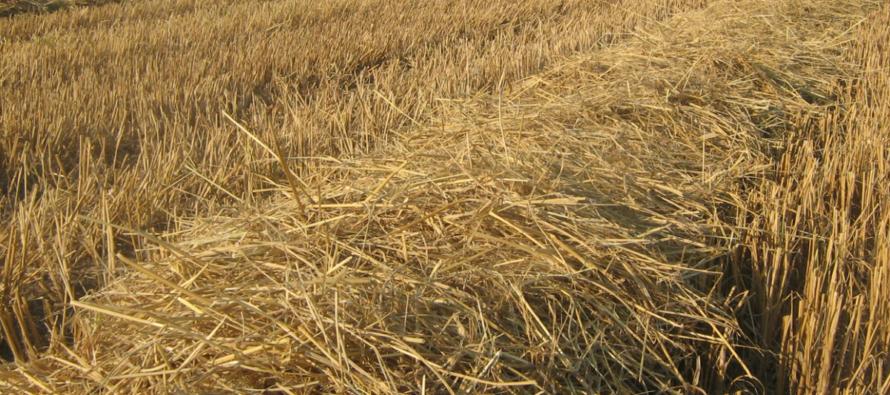 Sécheresse : De la paille de riz Camarguais dans le Roannais